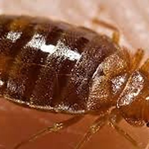 close up photograph of a bed bug
