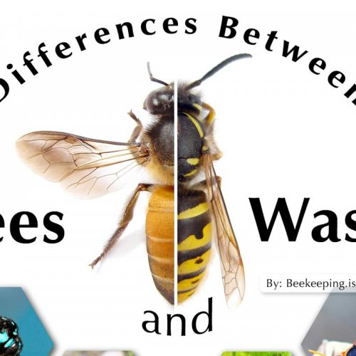 Graphic illustration showing the differences between bees and wasps.  This file is released under the Creative Commons BY-NC-SA license by beekeeping is Good ca