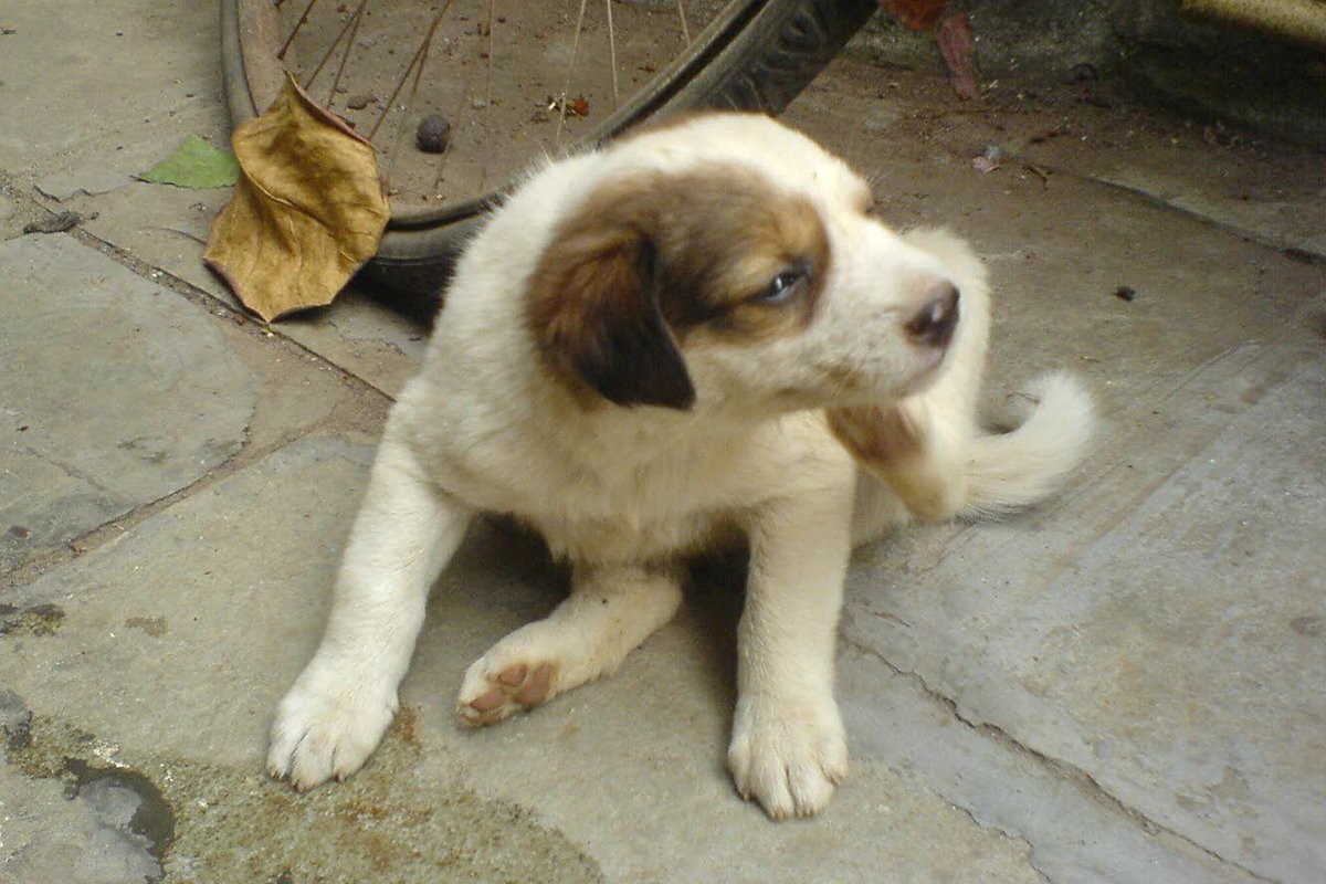 photograph of a puppy scratching