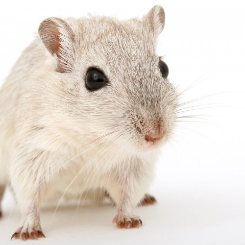 photograph of a white mouse