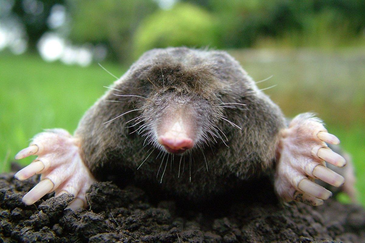 photograph of a mole