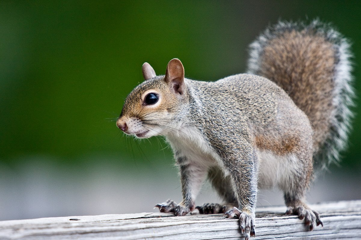 photograph of a grey squirrel