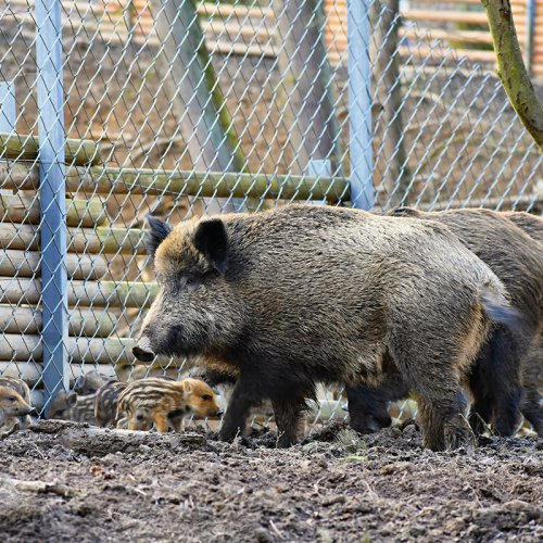 captive wild boar with youngsters. photo by  Montypeter - https://monty-photography.webnode.cz/