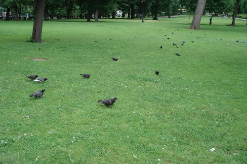 photograph of pigeons eating on a lawn