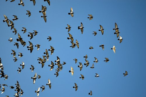 photograph of pigeons flying