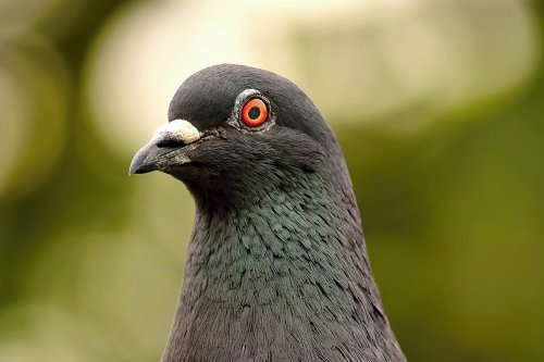 close up photograph of a pigeons head
