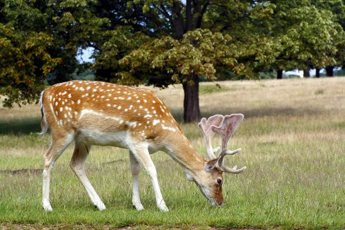 photograph of a male fallow-deer
