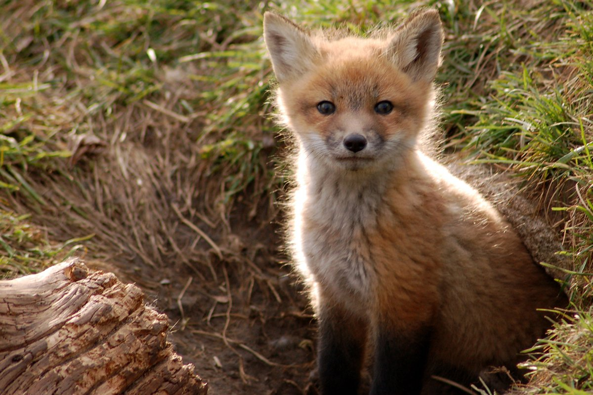 photograph of a fox cub