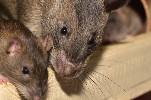 close up photograph of two rats