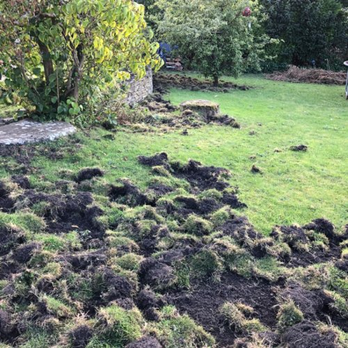 photograph showing damage to a lawn caused by wild boar